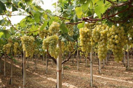La produzione di uva da tavola in sardegna - Uva da tavola italia ...