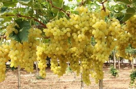 La produzione di uva da tavola in sardegna - Uva da tavola coltivazione ...