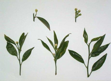 Notizie tecniche fioritura ed allegagione del clementine - Diversi tipi di erba ...