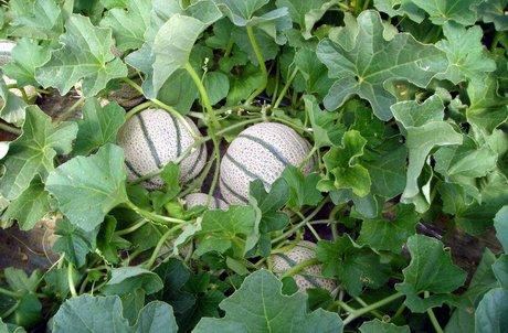 Open day enza zaden sul melone con eminenza f1 il for Pianta di melone