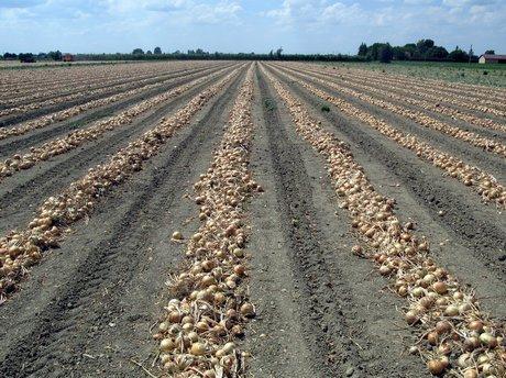 Bologna in raccolta gli ibridi di cipolla a semina for Semina cipolle