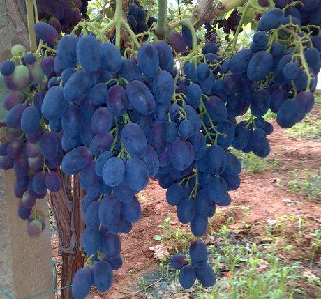 Italia inicia temporada de uva de mesa de sicilia - Variedades de uva de mesa ...