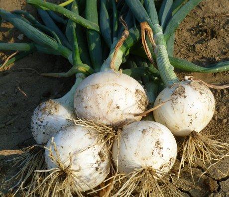 Cora seeds presenta le sue cipolle per semina autunnale for Semina cipolle