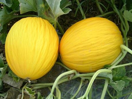 I frutti del sole prodotti di agricoltura biologica for Melone coltivazione
