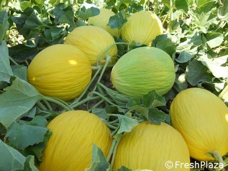 Giorillo viene dal passato il melone gialletto che for Pianta di melone