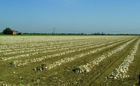 Conclusa con successo la raccolta delle cipolle ibride f1 for Semina cipolle