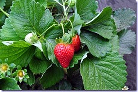 Sono disponibili i primi agrumi della stagione presso la for Fragole piante vendita