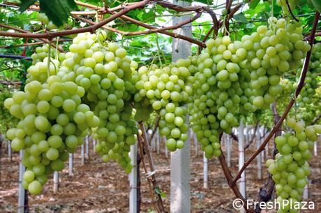 Bayer cropscience presenta il progetto magis uva da - Uva da tavola puglia ...