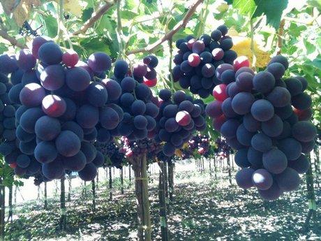 Gli italiani non consumano volentieri uva controstagionale - Red globe uva da tavola ...