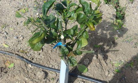 Comercial gallo segnala furto di materiale vegetale di for Acquistare piante di agrumi