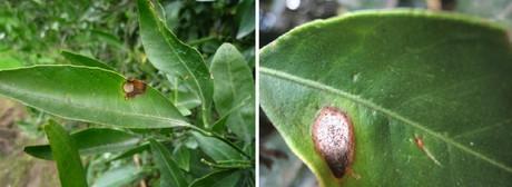 Ricerche correlate a macchie nere sotto le foglie del limone - Foglie limone nere ...