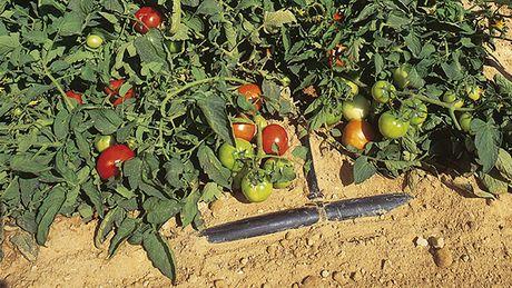 L 39 esperienza ventennale netafim nell 39 irrigazione a goccia for Irrigazione a goccia per pomodori