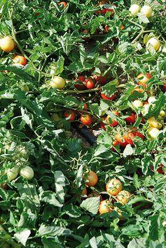 Italy the twenty year experience of netafim in tomato for Netafim irrigazione