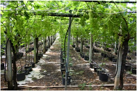 Visite tecniche e convegni per l 39 uva da tavola igp di canicatti 39 e mazzarrone - Uva da tavola di mazzarrone ...