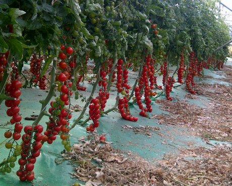 Sicilian producers and their experience with new vispo f1 for How to grow cherry tomatoes from seeds