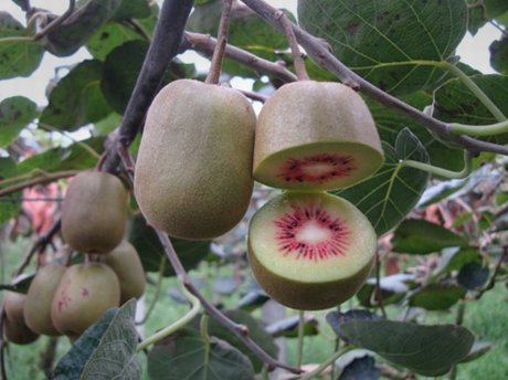 Kiwi ora piacciono le varieta 39 a polpa gialla e le bicolori for Kiwi pianta