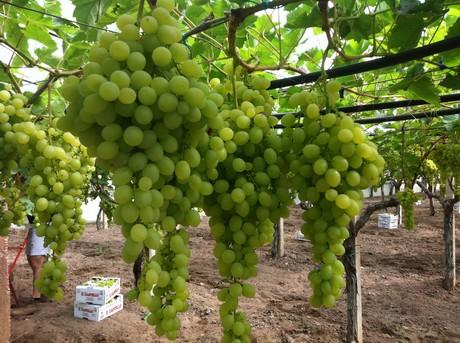 Consorzio uva da tavola igp di mazzarrone al via la - Uva da tavola di mazzarrone ...