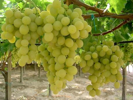 Pomodori e uva da tavola di qualita 39 l 39 azienda libretti si prepara a festeggiare i suoi primi - Uva da tavola precoce ...
