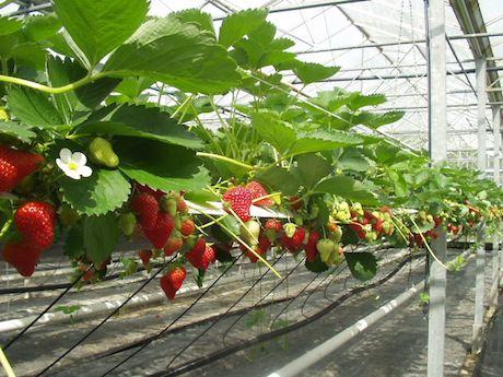 Salvi vivai 100 milioni di piante di fragola 1 milione for Vivai piante da frutto