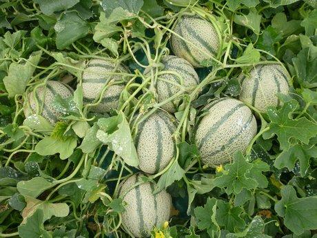 Il melone celestial f1 della nunhems supera le avversita for Pianta di melone