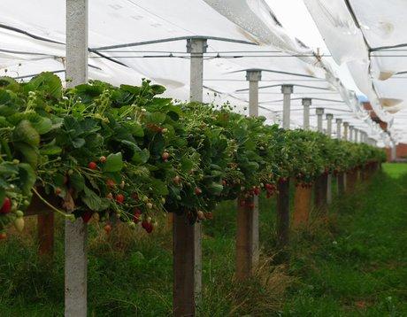 Piemonte la coltivazione fuori suolo della fragola un for Serre professionali usate