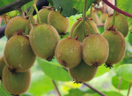 Italy delayed kiwi harvesting all over italy for Kiwi pianta