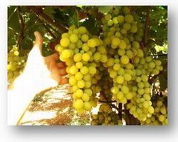Resoconto del 17mo congresso nazionale ed internazionale sull 39 uva da tavola - Uva da tavola precoce ...