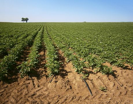 Italy Advantages Of Drip Irrigation For Potatoes
