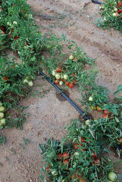 netafim un 39 esperienza decennale nell 39 irrigazione a goccia