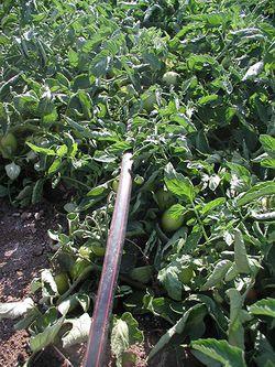 Netafim un 39 esperienza decennale nell 39 irrigazione a goccia for Netafim irrigazione