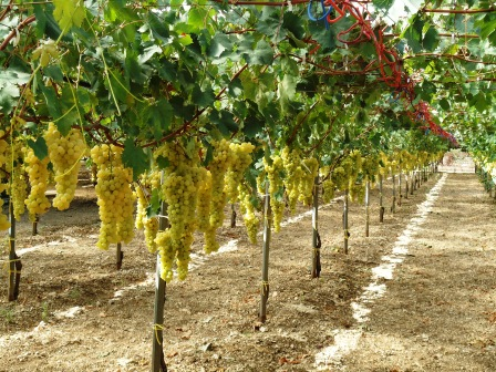 Seminario la potatura della vite toccando la pianta e seguendo la linfa - Potatura uva da tavola ...