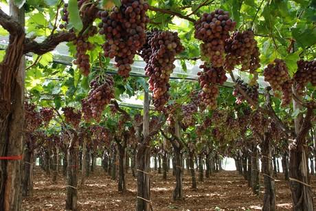 Italia uva da tavola puglia e sicilia sono le regioni leader - Red globe uva da tavola ...