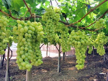 Italia uva da tavola puglia e sicilia sono le regioni leader - Uva da tavola italia ...