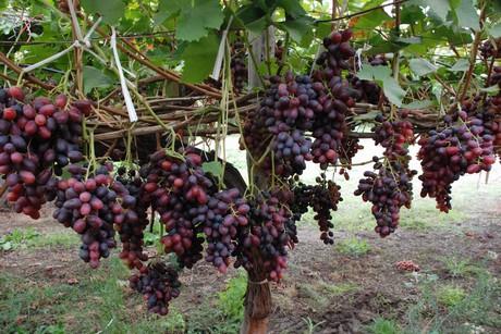 Italia uva da tavola puglia e sicilia sono le regioni leader - Uva da tavola puglia ...