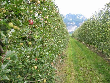 Ecco il frutteto in parete che richiede meno chimica for Potatura del melo