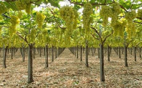 Salvatore secondulfo dalla campania alla puglia per un 39 uva da tavola di alta qualita 39 - Potatura uva da tavola ...