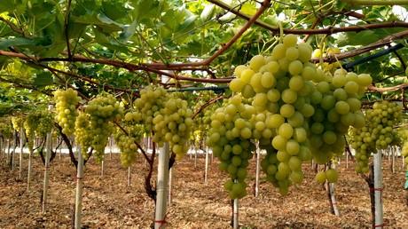Nasce la op puglia natura rafforzare il sistema organizzato nella produzione dell uva da tavola - Potatura uva da tavola ...