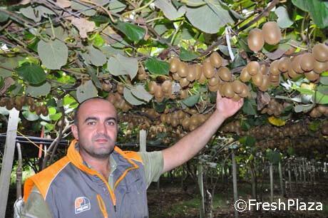 A cisterna si punta sulla varieta 39 di kiwi giallo zespri g3 for Kiwi giallo piante acquisto