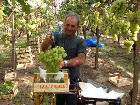 Uva da tavola grappoli sempre piu 39 sensibili a fisiopatie - Uva da tavola coltivazione ...