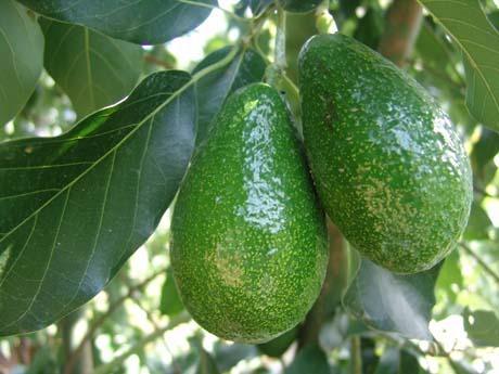 Coltivazione intensiva dell 39 avocado la sperimentazione for Avocado coltivazione