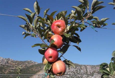 In turchia cala la produzione di mele e pere nella - Mele fuji coltivazione ...