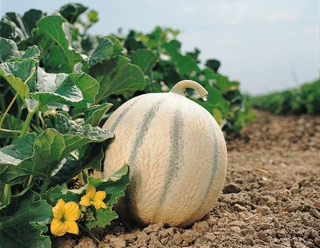 Gautier presenta le sue nuove varieta 39 di melone for Melone charentais