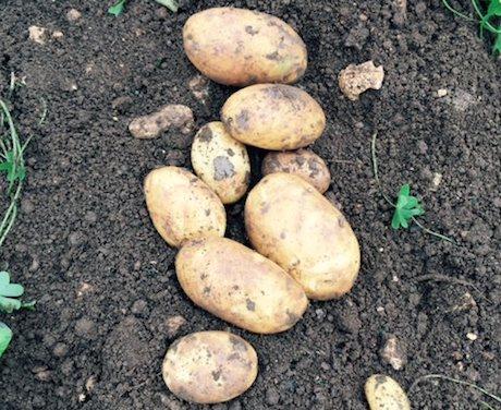 84090e60f42 Goede vooruitzichten Siciliaanse aardappelen na rampjaar 2014