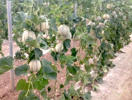 Meloni agricola don camillo c 39 e 39 anche in sicilia for Melone coltivazione