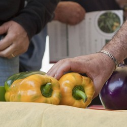 Italy new pepper varieties showcased at southern seed - Best romanian pepper cultivars ...