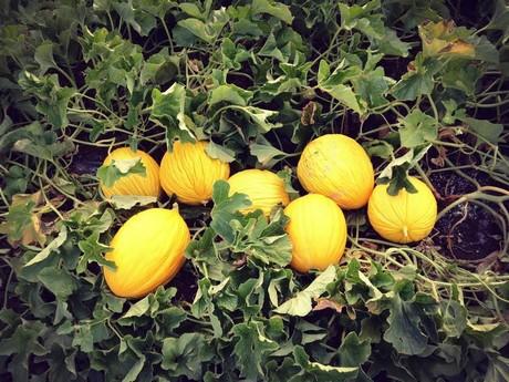 Azienda agricola segesta parte la campagna 2015 del for Melone coltivazione