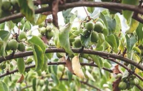 Baby kiwi nergi verso l 39 avvio della for Kiwi pianta