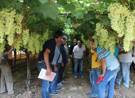 Resoconto di una visita al settore dell 39 uva pugliese da - Uva da tavola coltivazione ...