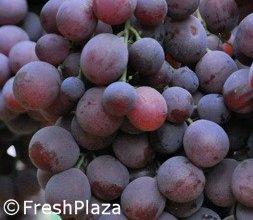 La produzione di uve in peru 39 e 39 dominata dalla red globe - Red globe uva da tavola ...