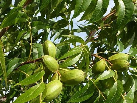 exoticplant vivaio la noce pecan e 39 un frutto cosi